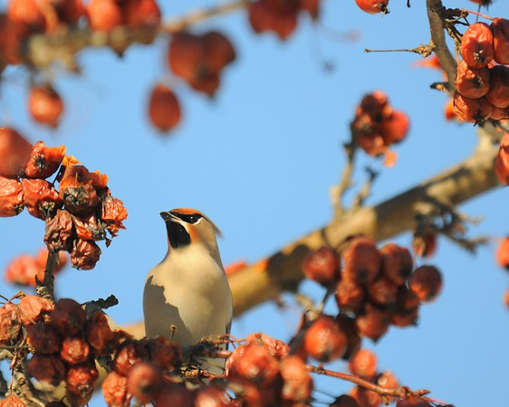 Waxwing - Waxwing in a Crabapple Tree, Anchorage, Alaska