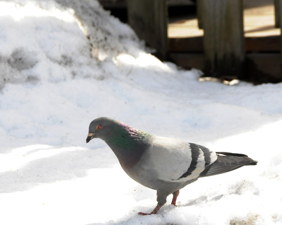 Pigeon - Anchorage, Alaska