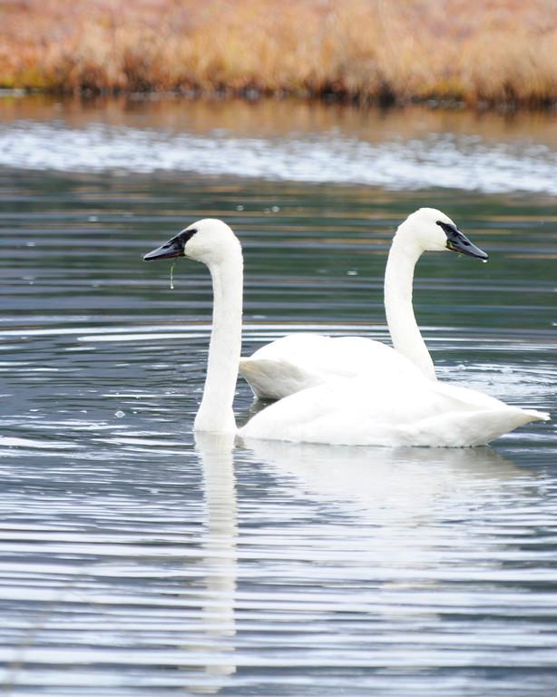 Swan - Swans in Anchorage, Alaska