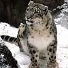 Snow Leopard - Anchorage, Alaska