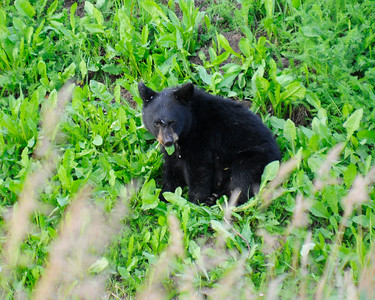 Bear - Black Bear Cub, Anchorage, Alaska