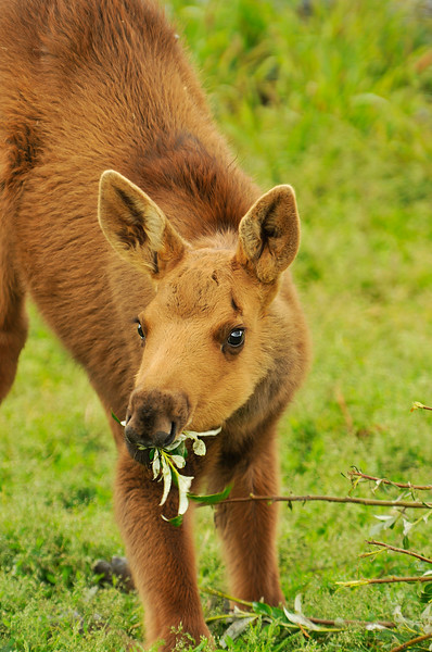 Moose Calf in Portage, Alaska