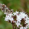 Moth on flowers, Anchorage, Alaska