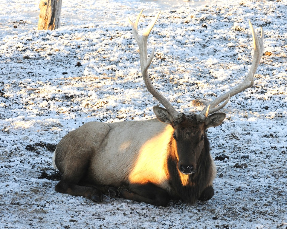 Elk - Portage, Alaska