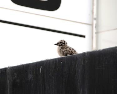 Sea Gull - Sea Gull Chick, Anchorage, Alaska