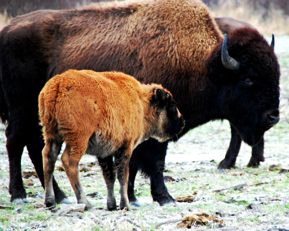 Bison - Wood Bison with baby, Portage, Alaska