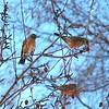 Robin - Robins in a Crabapple Tree, Anchorage, Alaska