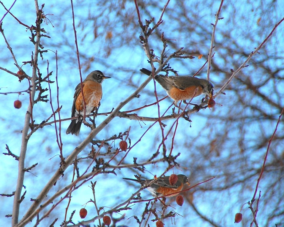 Robin - Robins in a Crabapple Tree, Anchorage, Alaska