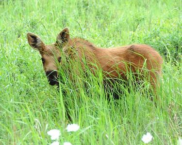 Moose - Moose Calf, Anchorage, Alaska