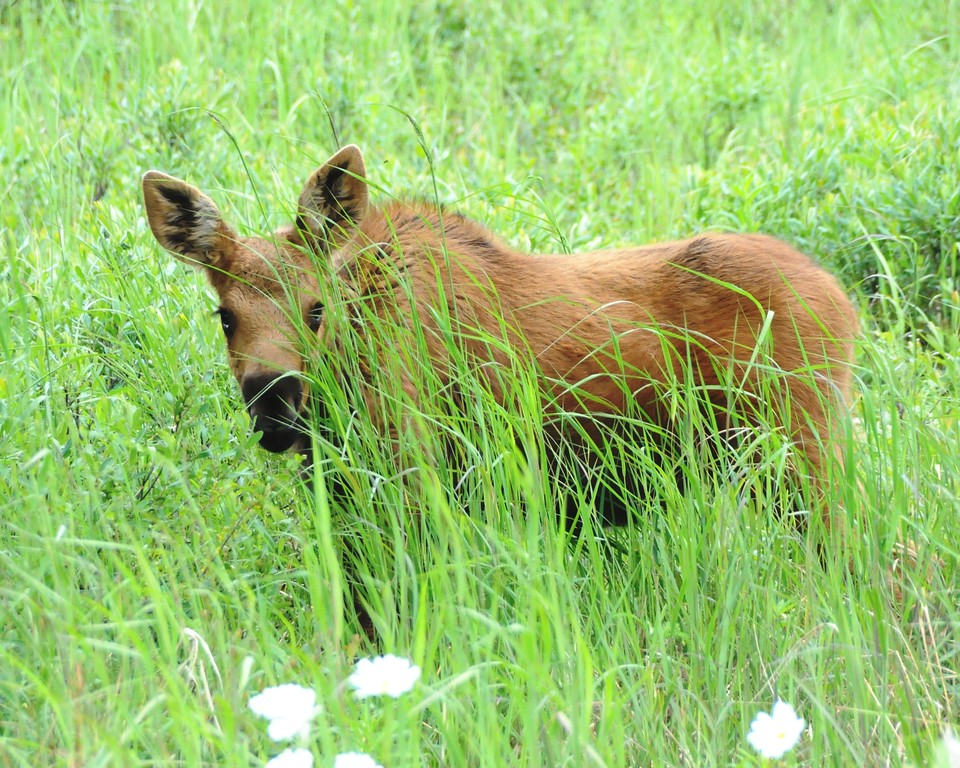 Moose - Moose Calf, Anchorage, Alaska