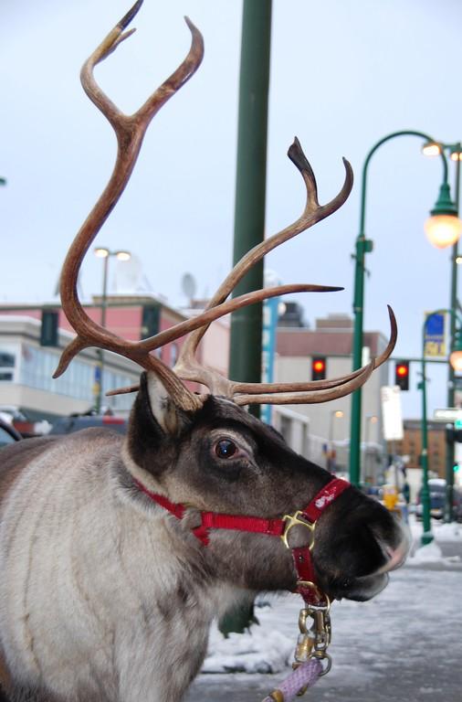 Reindeer - Star the Reindeer, Downtown, Anchorage, Alaska