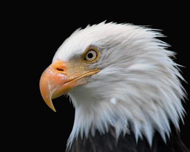 Eagle - Bald Eagle