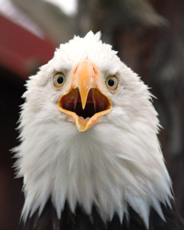 Eagle - Bald Eagle, Portage, Alaska