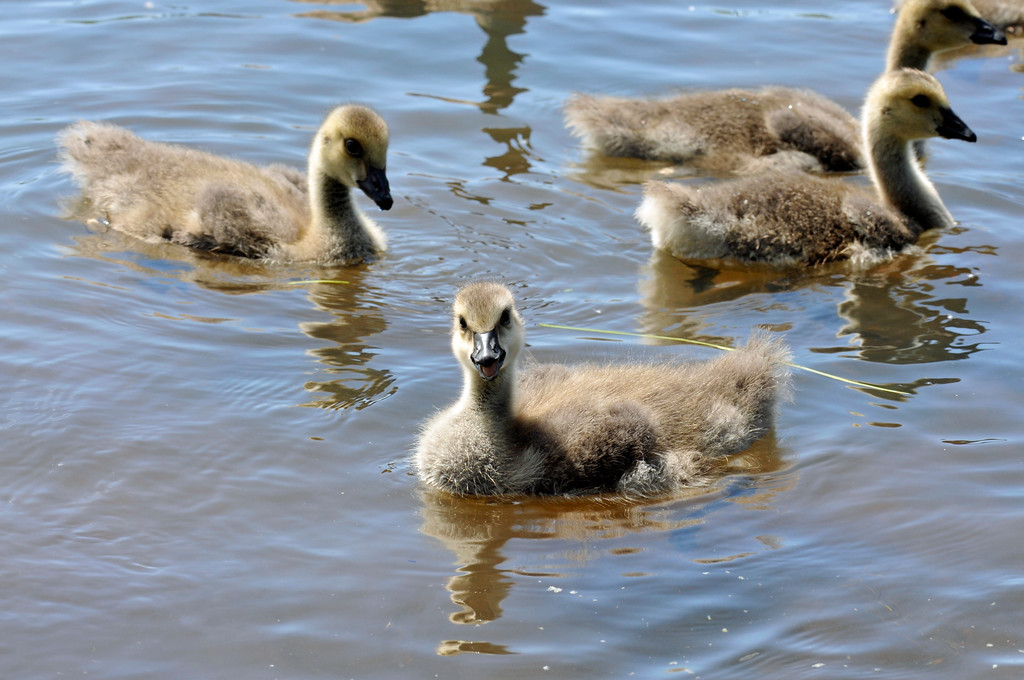 Canadian Geese - Goslings in the water in Anchorage, Alaska
