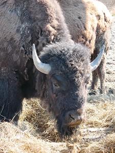 Buffalo - Portage, Alaska