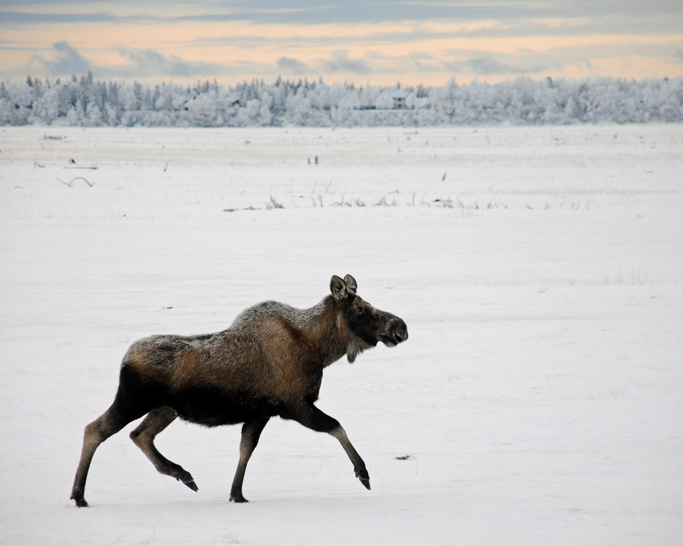 Moose - Moose, Kenai, Alaska