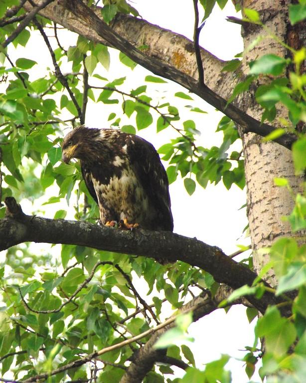 Eagle - Immature Bald Eagle, Anchorage, Alaska