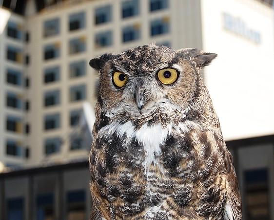 Great Horned Owl - Bird - Anchorage - Alaska  - USA
