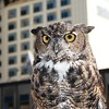 Owl - Great Horned Owl, Anchorage, Alaska