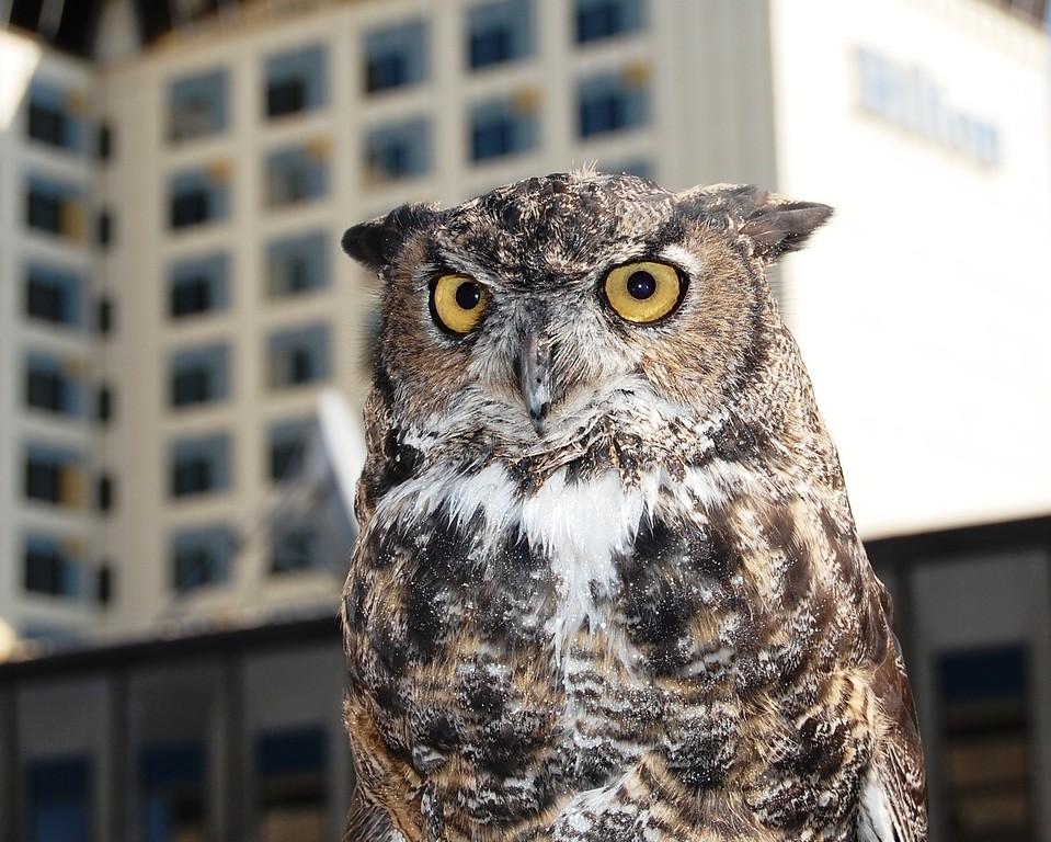 Owl - Great Horned Owl, Anchorage, Alaska