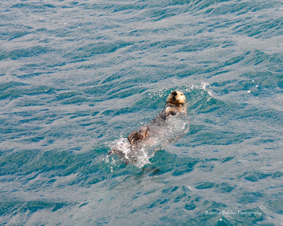 Sea Otter - Sea Otter swimming, Seward, Alaska