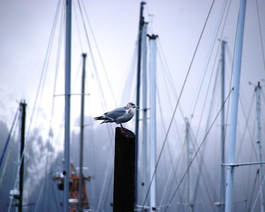 Sea Gull - Harbor - Seward - Alaska  - USA