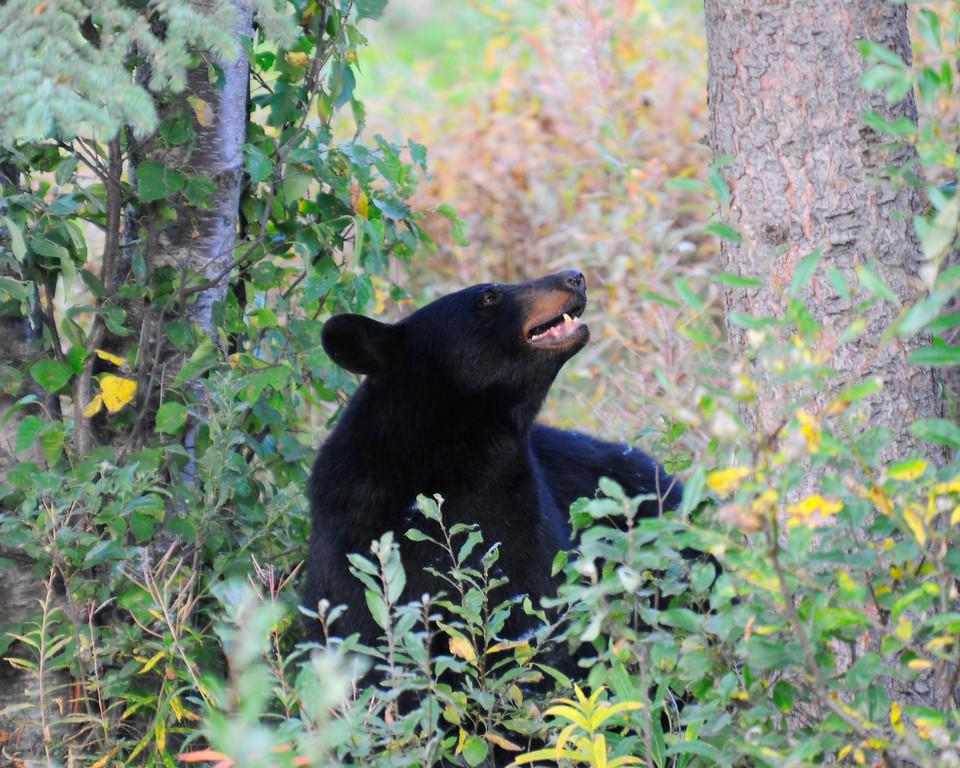 Bear - Black Bear Sow in Anchorage, Alaska