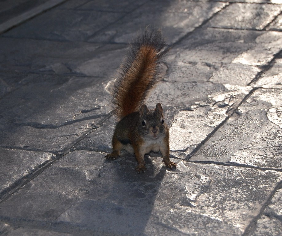 Squirrel - Turnagain Arm, Alaska