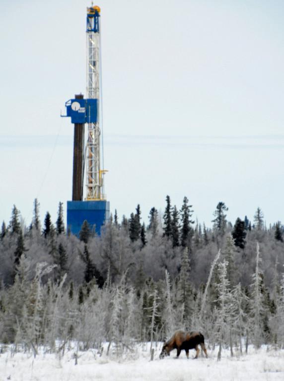Moose -  Moose next to Nabors Drilling Rig, Kenai, Alaska