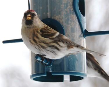Red Pole on a bird feeder, Anchorage, Alaska