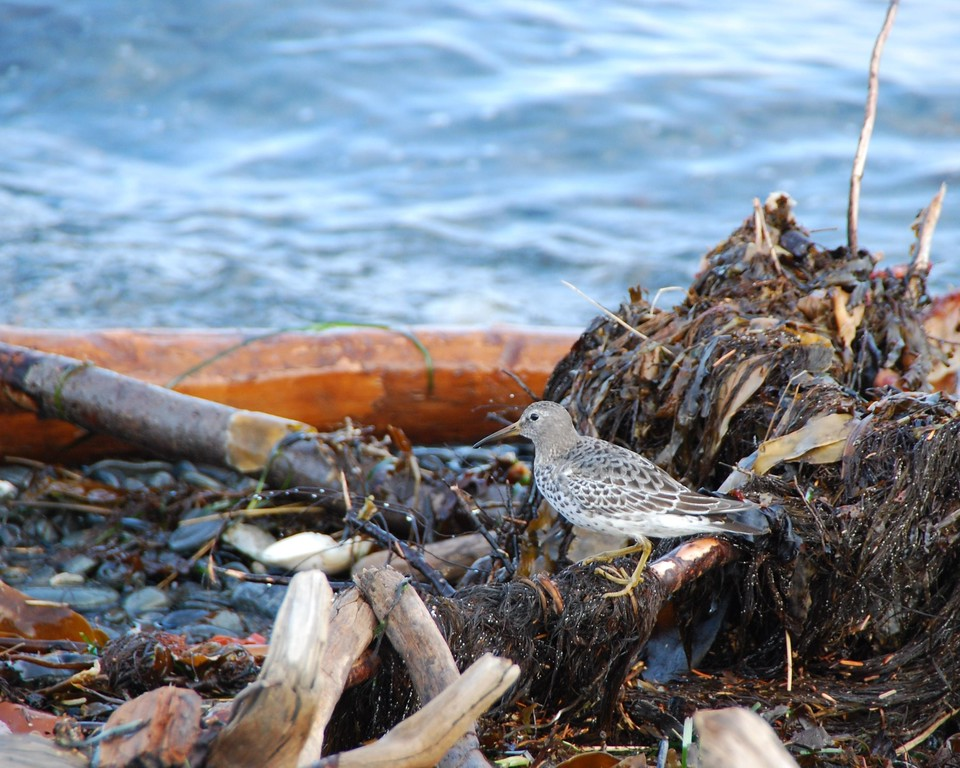 Sand Piper - Homer, Alaska