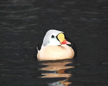 Duck - Bird - Seward - Alaska  - USA