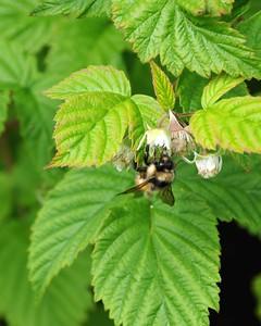 Bee on a Raspberry bush