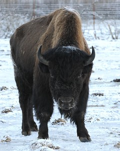 Bison - Wood Bison in Portage, Alaska