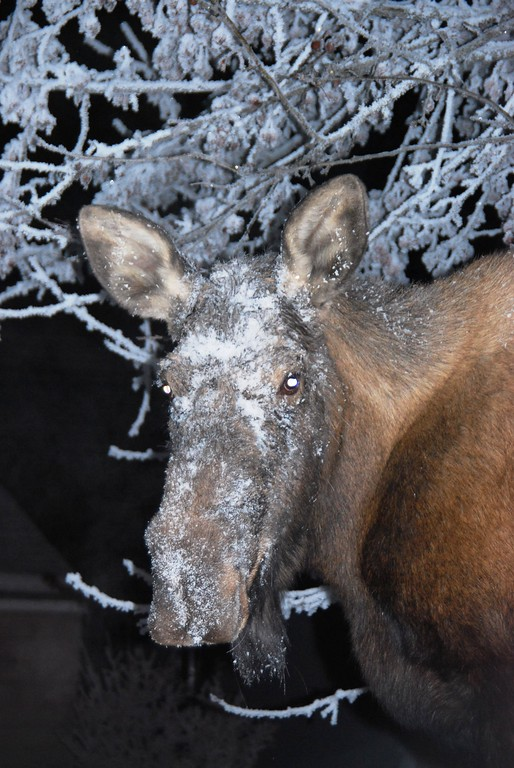 Moose - Cow Moose with hoarfrost, Anchorage, Alaska