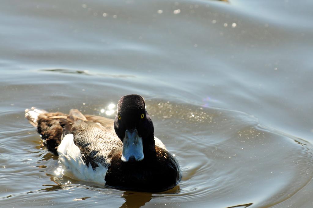 Duck - Anchorage, Alaska
