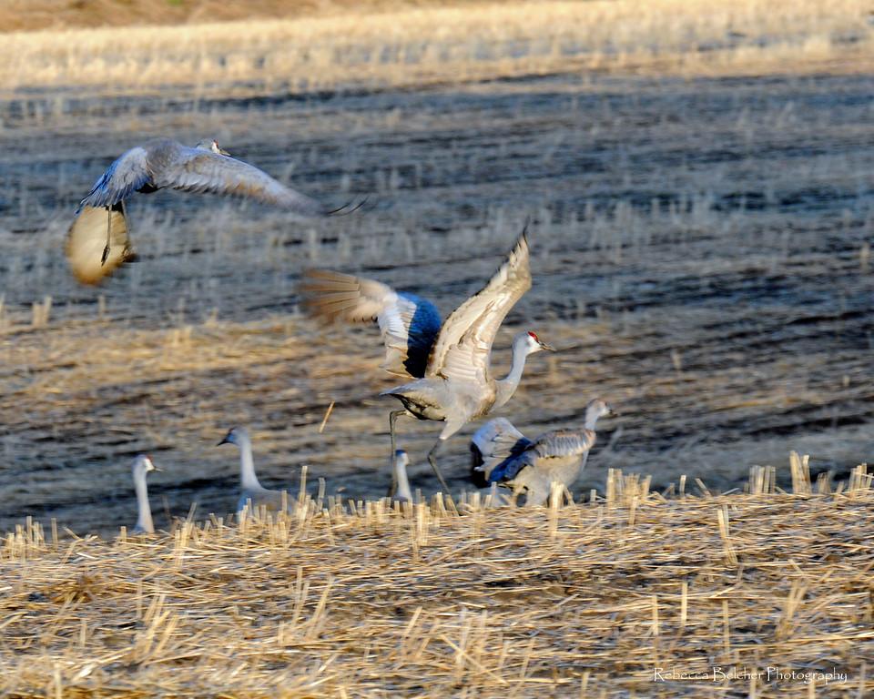 Cranes - Sandhill Cranes, Palmer, Alaska