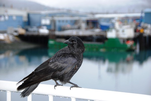 Crow - Seward - Alaska  - USA