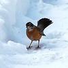 Robin - Robin in the snow, Anchorage, Alaska