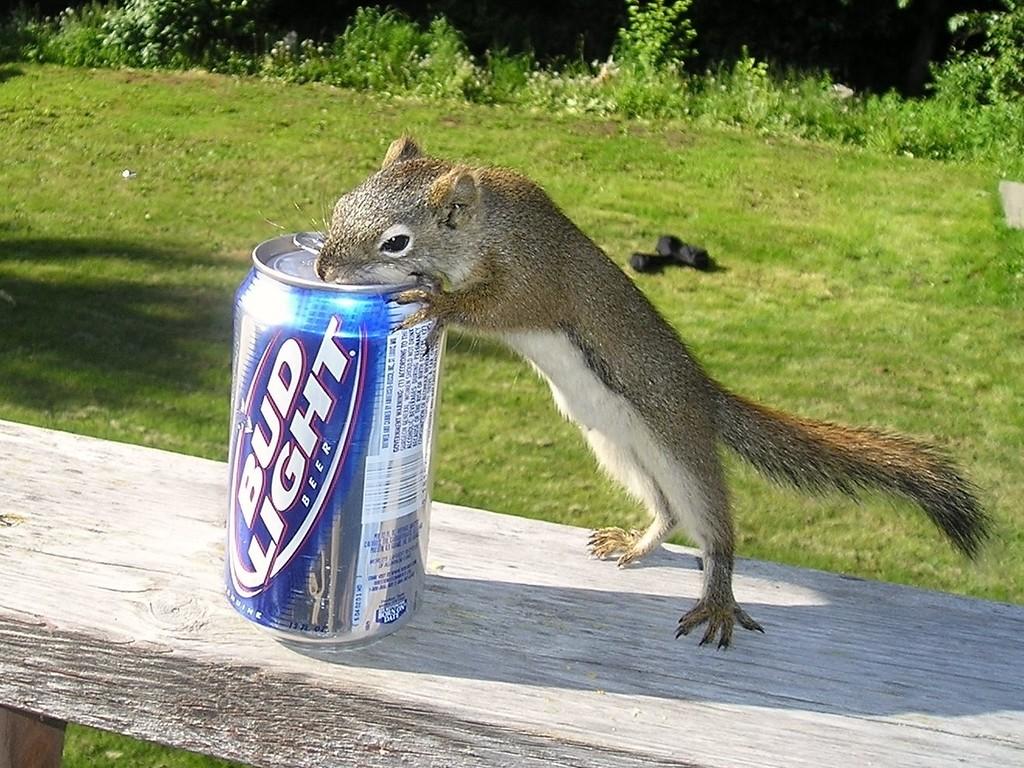 Squirrel - Squirrel drinking a Bud Light, Anchorage, Alaska