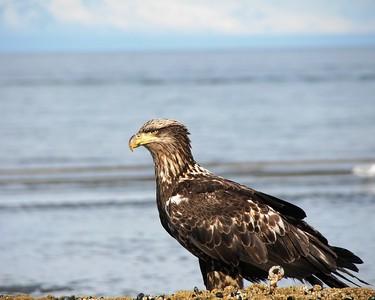 Eagle - Immature Bald Eagle, Deep Creek, Alaska