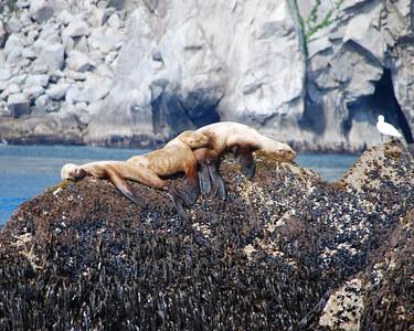 Sea Lions - Sea Lions on a rock, Seward, Alaska