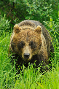 Bear, Grizzly in Portage, Alaska