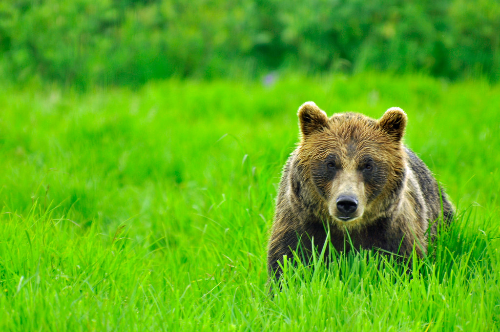 Bear - Grizzly Bear in the grass, Portage, Alaska