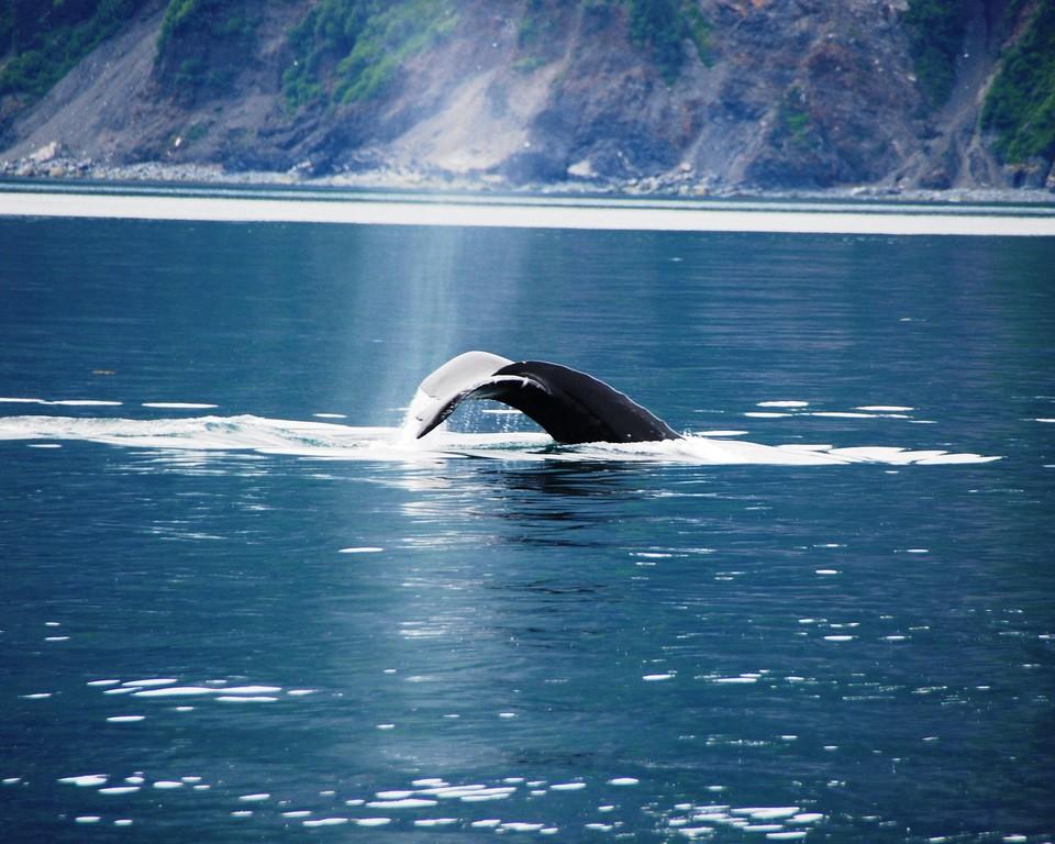 Whale - Humpback Whale tail in Seward, Alaska