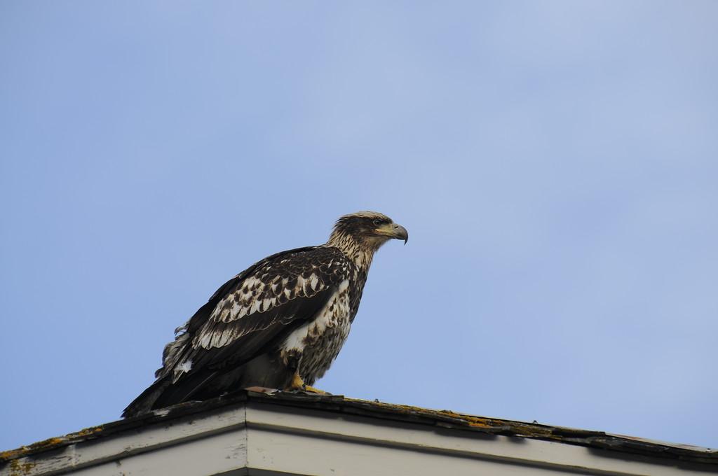 Eagle - Immature Bald Eagle, Seward, Alaska
