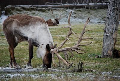 Caribou - Portage, Alaska