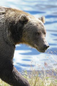Bear-5223