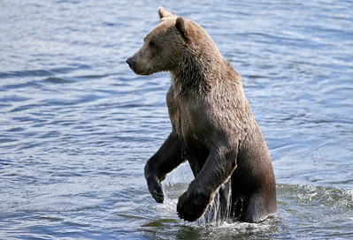 Bear-5242