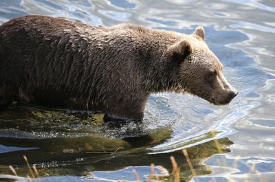 Bear-5291